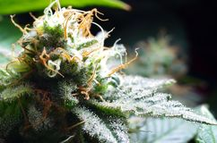 Cannabisbloemen Stock Fotografie
