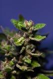 Cannabisblomma Arkivbilder