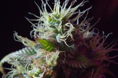 Cannabisblommor Arkivfoto