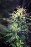 Cannabisblommor Arkivbild