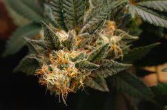 Cannabisblommor Arkivfoton