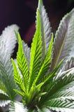 Cannabisfanblad Arkivfoto