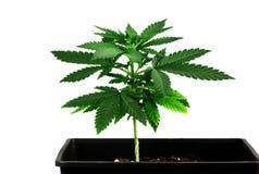 Cannabisfrö Royaltyfria Bilder