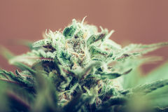 Cannabisknopp Royaltyfri Fotografi