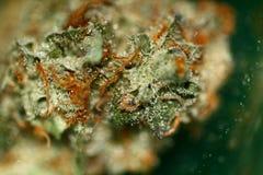 Cannabisknoppar Royaltyfri Foto