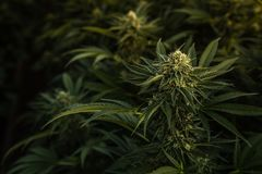 Cannabisknoppslut upp, mörk bakgrund royaltyfria foton