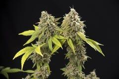 Cannabiskola & x28; Duizend Eikenmarihuana strain& x29; met zichtbaar haar Royalty-vrije Stock Foto's