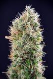 Cannabiskola & x28; Zure Diesel marihuana strain& x29; met zichtbare tricho Royalty-vrije Stock Afbeelding