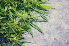 Cannabiskruid en bladeren voor behandeling stock afbeelding