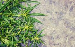 Cannabiskruid en bladeren voor behandeling royalty-vrije stock foto
