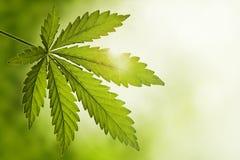 cannabisleaf Arkivbild