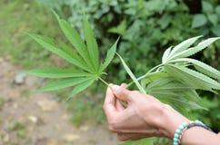Cannabismarihuana Stock Foto's