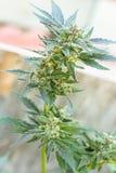 Cannabismarijuanaväxt Royaltyfria Foton