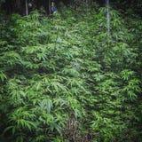 Cannabisparadis Arkivbilder