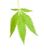 Cannabissidor Royaltyfria Bilder