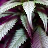 Cannabissidor Royaltyfri Fotografi