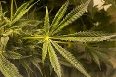 Cannabissidor i inomhus lantgård Royaltyfri Foto