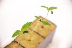 Cannabisspruiten op vroege stadia of de groei, over wit royalty-vrije stock foto