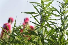 Cannabisstruiken Royalty-vrije Stock Afbeelding