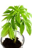 cannabistillväxt Royaltyfria Foton