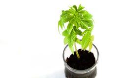 cannabisväxt Royaltyfri Foto