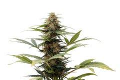 Cannabisväxt Royaltyfria Bilder