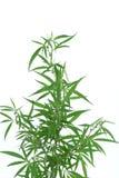 Cannabisväxt. Royaltyfria Foton