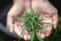 Cannabisv?xtknopp i handslut upp V?xt f?r cannabis f?r cannabis f?r bondeunders?kningsmarijuana sativa blomma och knopp, alternat fotografering för bildbyråer