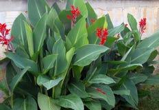 Cannaplant dekorativ växt för blomma, gräsplan royaltyfria foton