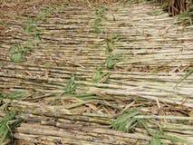 Canne à sucre Images libres de droits