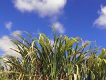 Canne à sucre et ciel Images stock