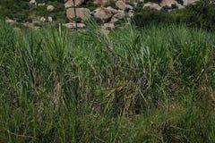 Canne à sucre, officinarum de saccharum de canne à sucre Barberi de saccharum, sinensis de saccharum Photos libres de droits