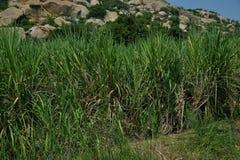 Canne à sucre, officinarum de saccharum de canne à sucre Barberi de saccharum, sinensis de saccharum Image libre de droits