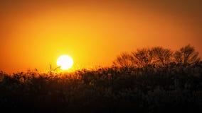 Canne alte contro il tramonto Immagine Stock Libera da Diritti