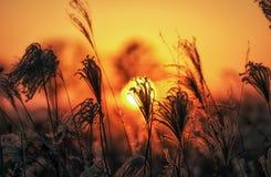 Canne alte contro il tramonto Fotografia Stock Libera da Diritti