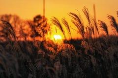 Canne alte contro il tramonto Fotografie Stock