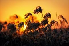 Canne alte contro il tramonto Immagine Stock