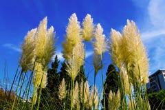 Canne alte dell'erba Immagine Stock