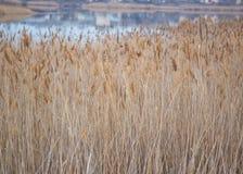 Canne asciutte sul lago della costa Fotografia Stock