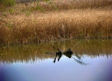 Canne che riflettono sul fiume Immagini Stock