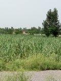 Canne da zucchero con bella erba verde Immagine Stock