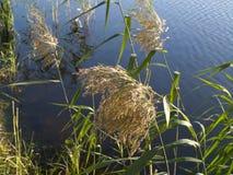 Canne dal lago Fotografie Stock Libere da Diritti