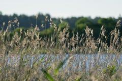 Canne dal lago Immagine Stock Libera da Diritti