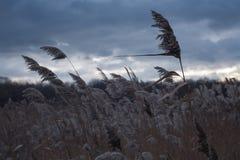 Canne dans le vent Photographie stock
