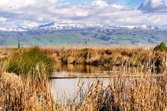 Canne del tule e del Cattail che crescono sui litorali di un'insenatura nel sud San Francisco Bay; Colline verdi e montagne innev fotografie stock