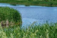 Canne dell'erba verde e del fiume blu Fotografie Stock