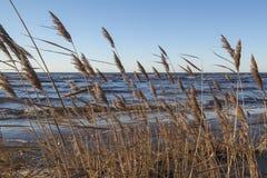 Canne della linea costiera in vento Fotografie Stock Libere da Diritti