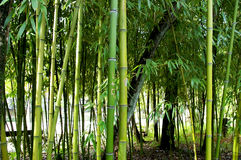 Canne di bambù Immagini Stock Libere da Diritti