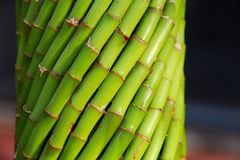 Canne di bambù Fotografie Stock