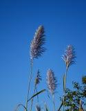 Canne di erba su cielo blu Fotografia Stock